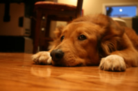 Pet urine can cause permanent damage to your floors and fabrics.  AllClean Carpet Care has carpet specialist certified to assist with urine damage.